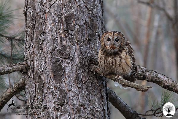 Allocco su un albero nella Riserva Naturale Acquerino Cantagallo