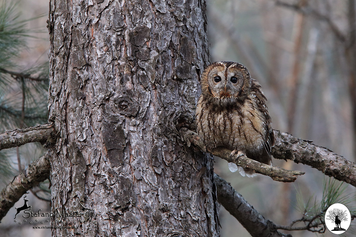 Allocco su albero nella Riserva Naturale Acquerino Cantagallo