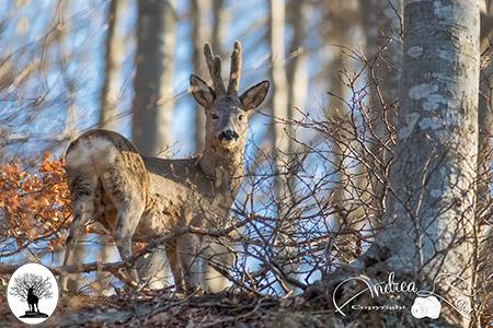 Capriolo tra gli alberi nel bosco