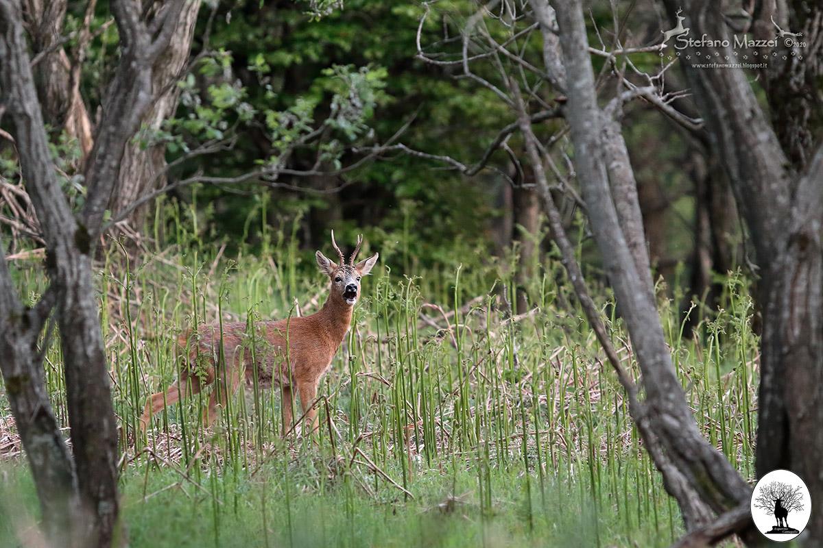 Capriolo nel bosco erba alta