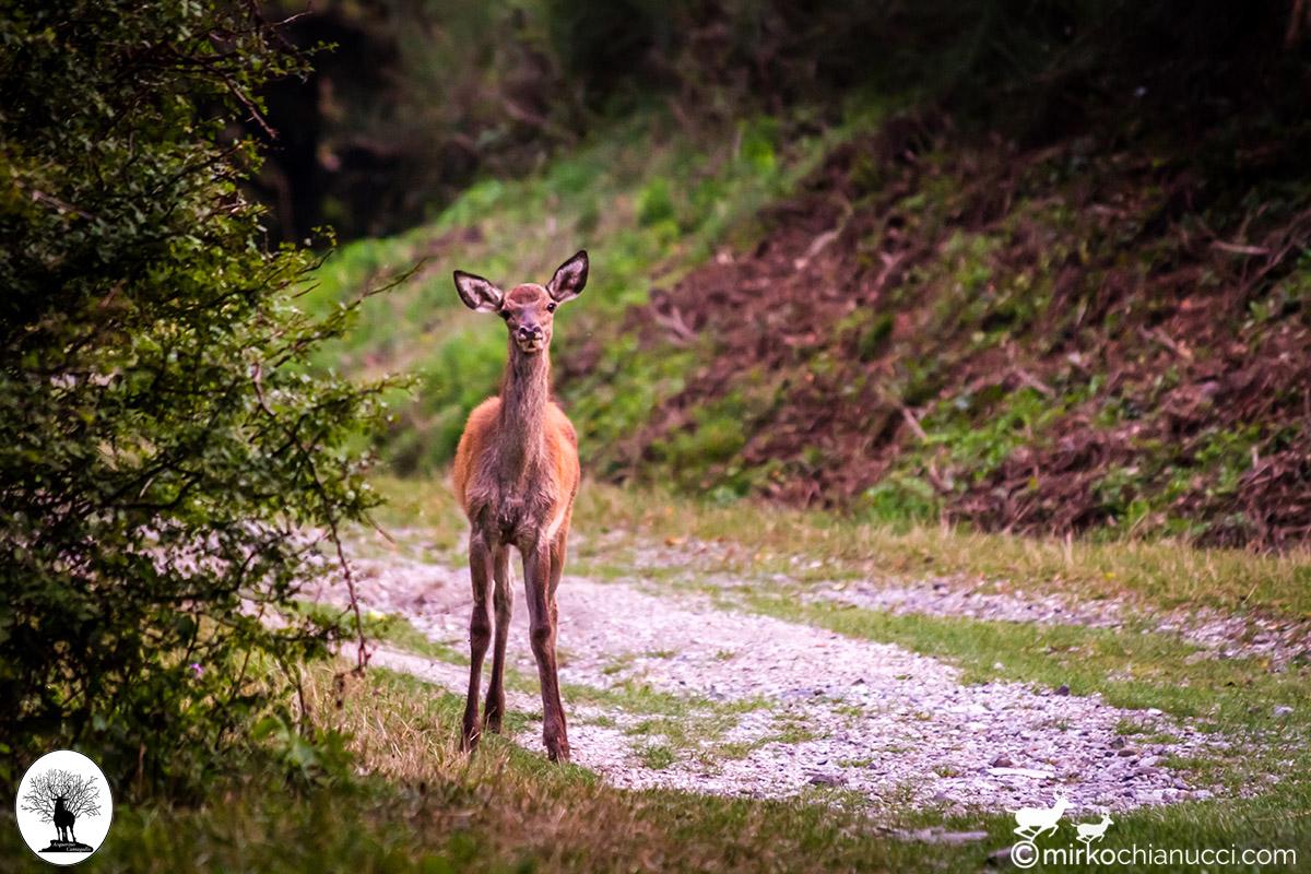 Cerbiatto curioso nella Riserva Naturale Acquerino Cantagallo