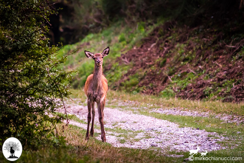 Cerbiatto curioso su sentiero nella Riserva Naturale Acquerino Cantagallo