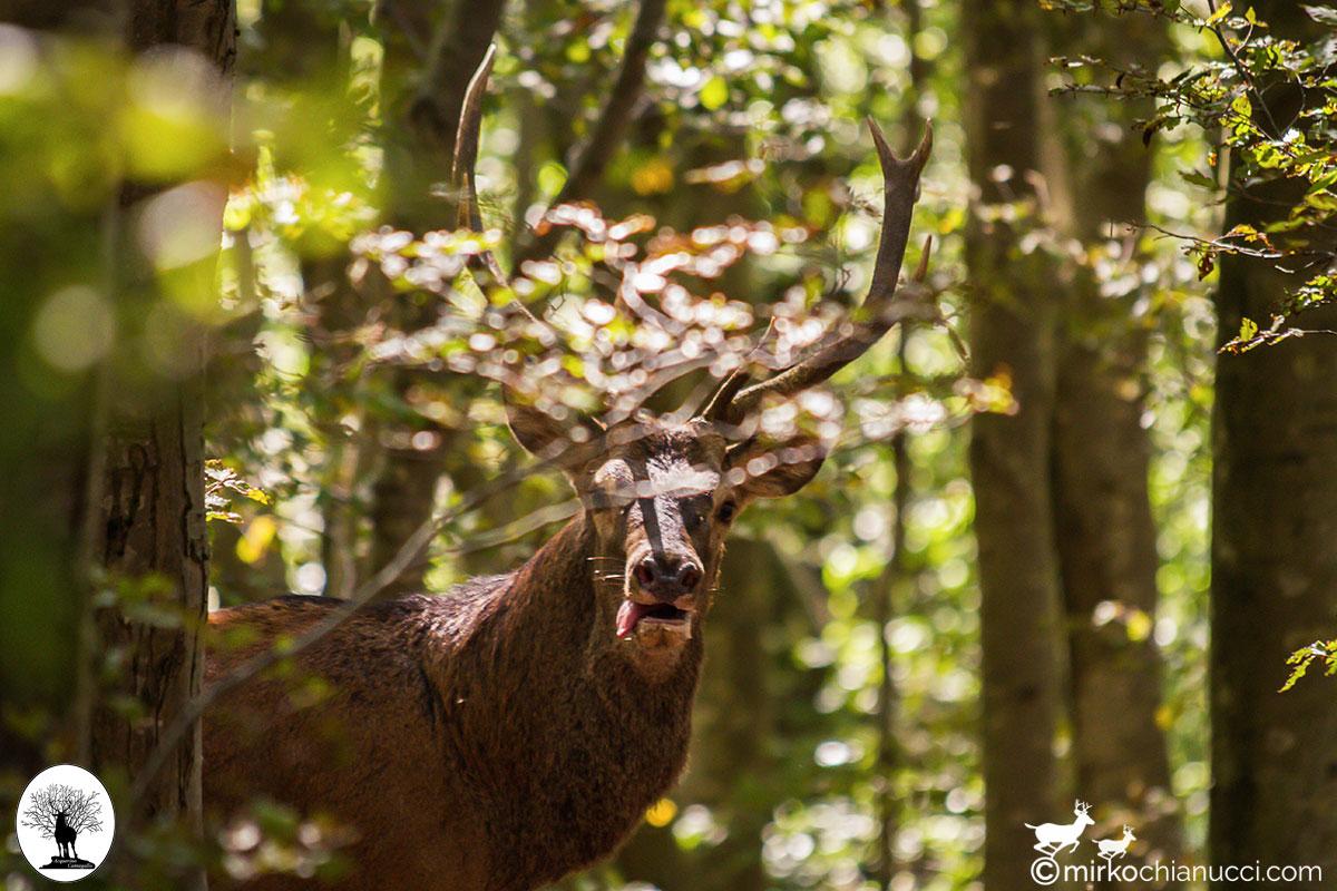Cervo con lingua di fuori nella Riserva Naturale Acquerino Cantagallo