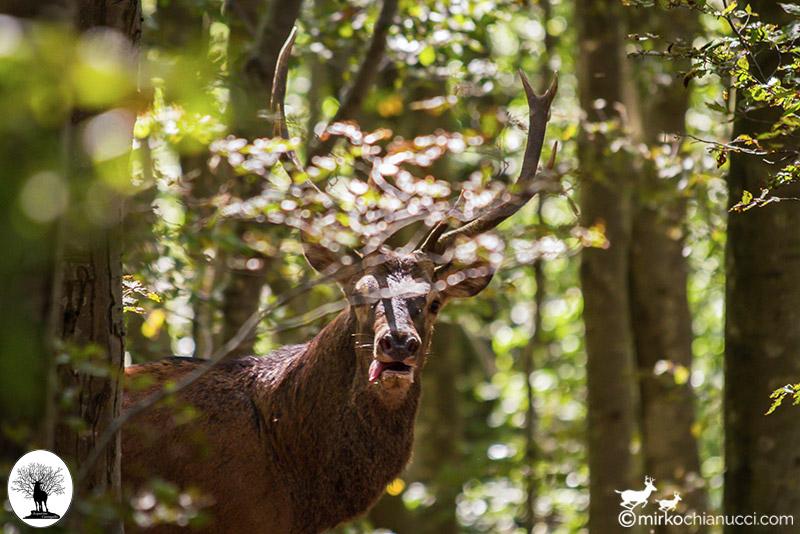 Cervo con lingua fuori nel bosco della Riserva Naturale Acquerino Cantagallo