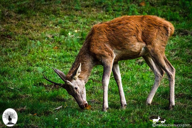 Cervo che mangia una foglia nel prato