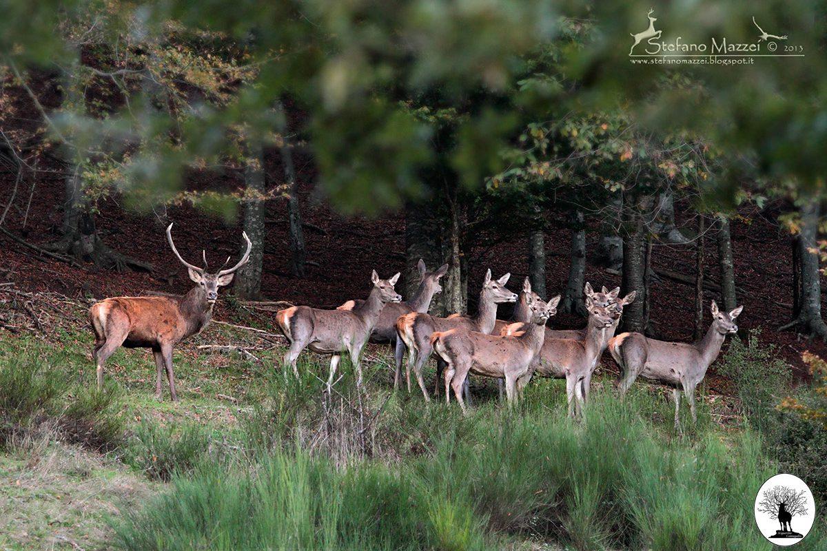 Cervo maschio con gruppo di femmine