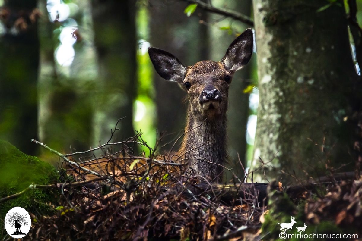 Cervo seduto nella foresta della Riserva Naturale Acquerino Cantagallo