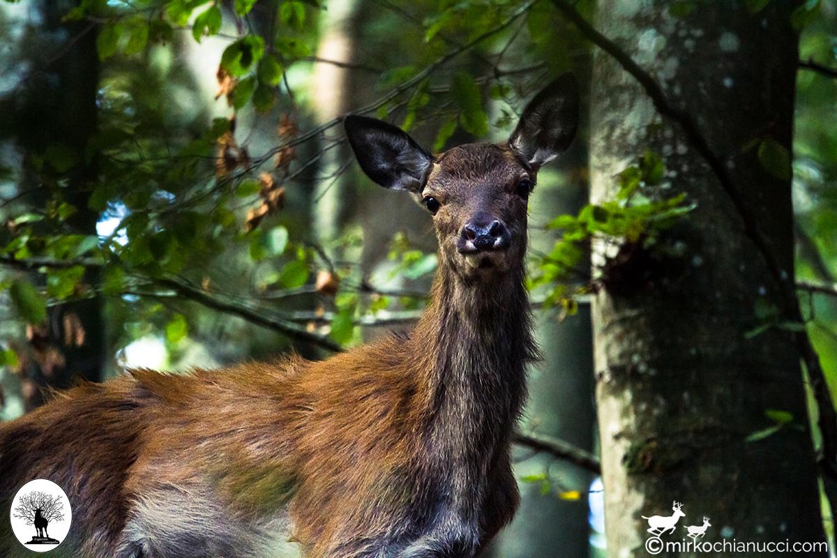 Cervo che guarda verso la fotocamera