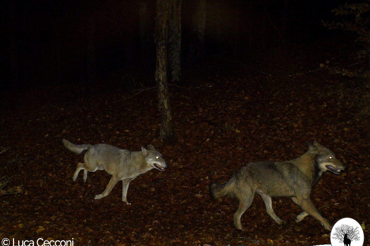 Coppia di lupi in corsa