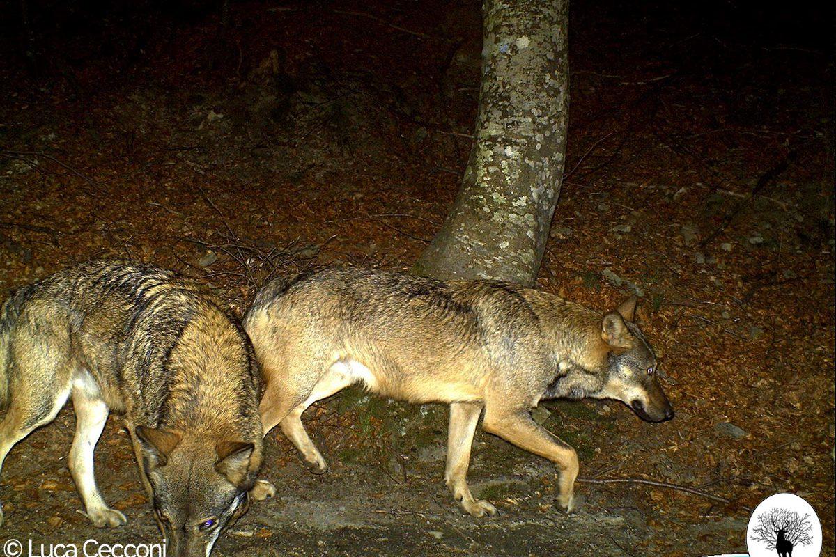 Coppia di lupi davanti alla fototrappola