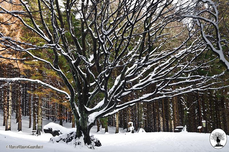 Faggione di Luogomano con neve nella Riserva Naturale Acquerino Cantagallo
