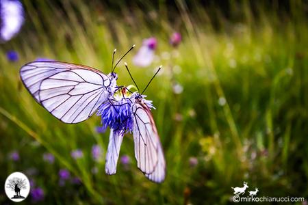 Farfalle su fiore nella Riserva Naturale Acquerino Cantagallo