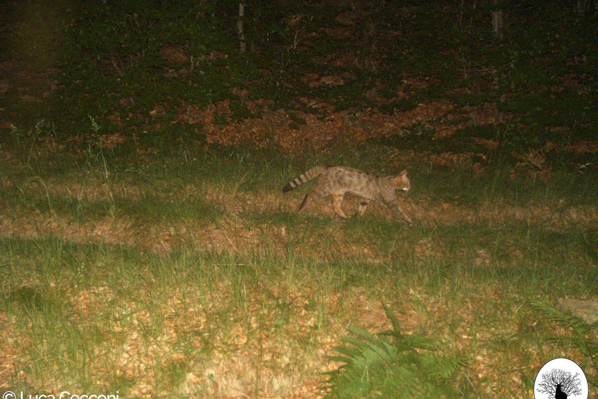 Gatto selvatico che cammina fototrappola