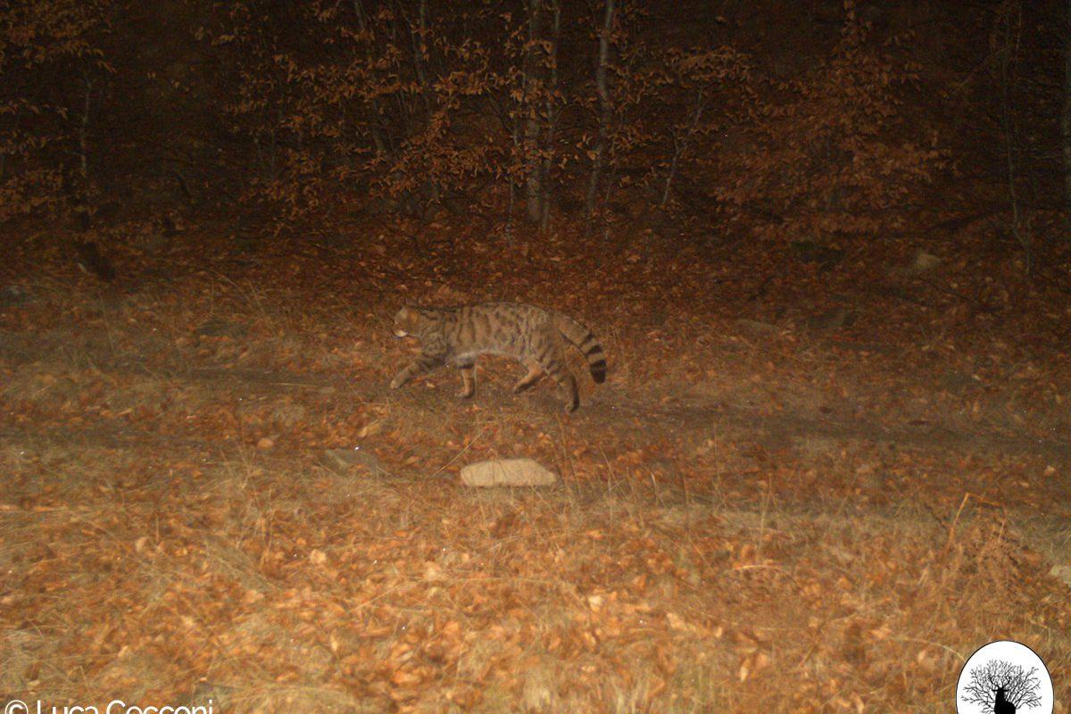 Gatto selvatico nella Riserva Naturale Acquerino Cantagallo