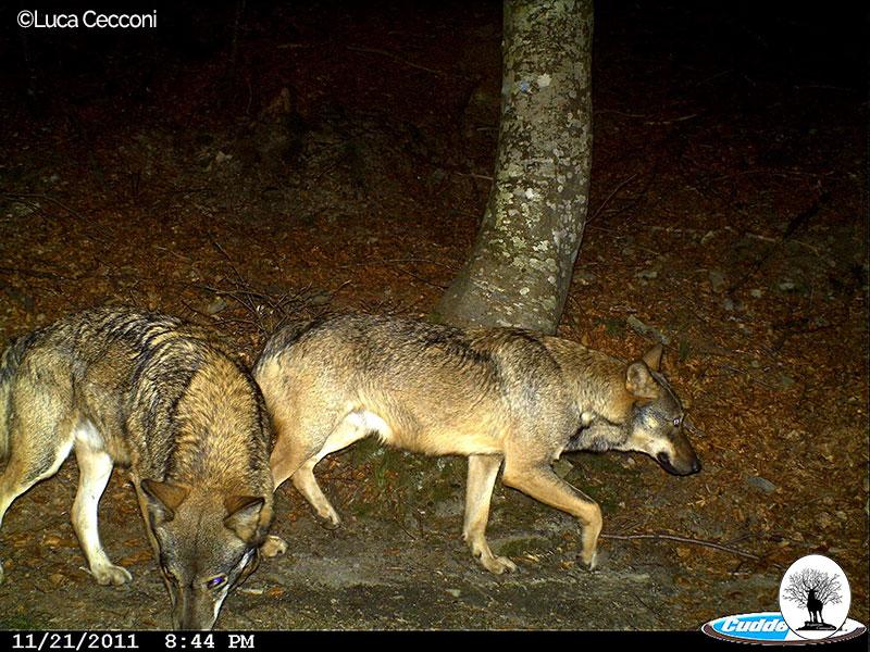 Coppia di lupi nella Riserva Naturale Acquerino Cantagallo