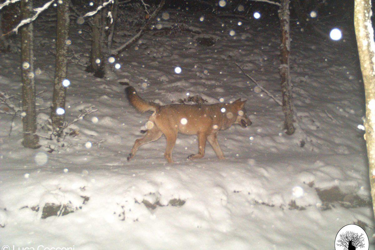 Lupo che cammina su neve con fiocchi di neve
