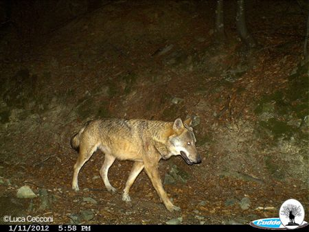 Lupo di notte nella Riserva Naturale Acquerino Cantagallo
