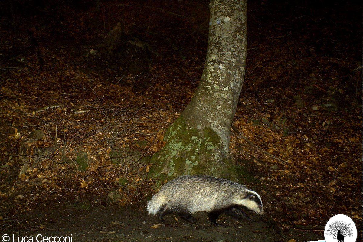 Tasso di fronte ad albero